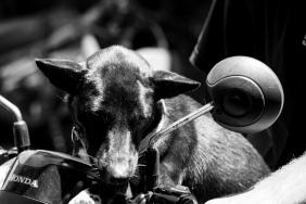 Bali Dog on a Scooter - Bali Street Photographer