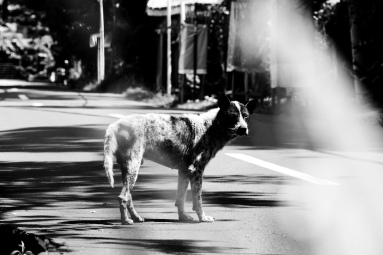 Bali Street Dog just north of Ubud Bali - Bali Street Photographer