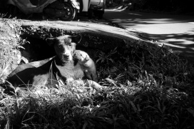 Bali Street Dog with her puppies - Bali Street Photographer