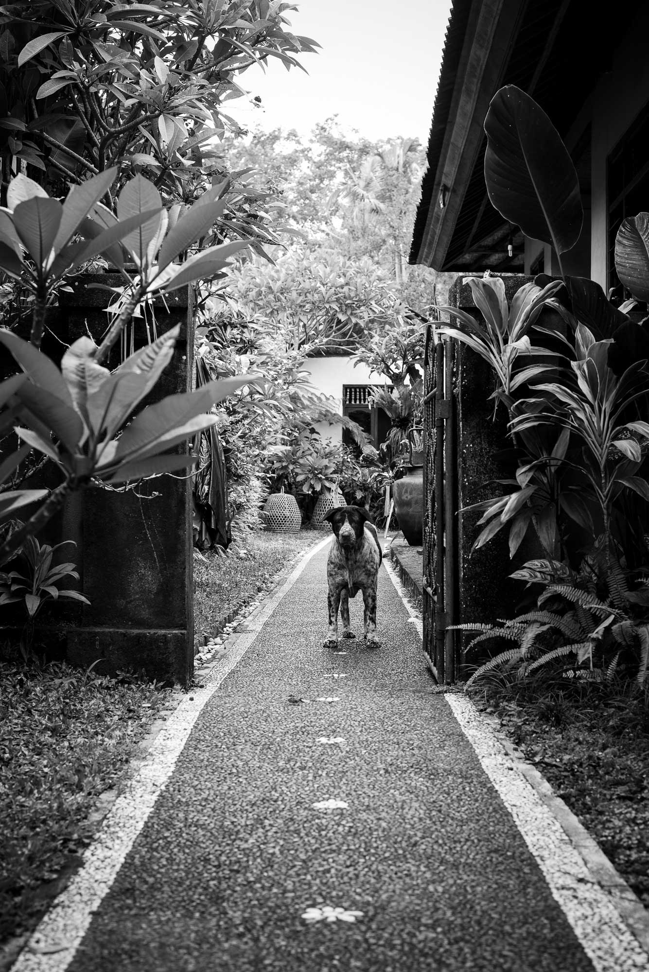 Bali Dog at Home - Bali Street Photographer