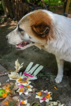 Bali dog on Galungan Day May 2018 - Bali Street Photographer