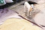 Bali Street Dog next to drying rice in a traditional Balinese village.