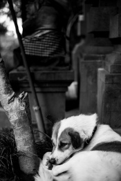 A Bali Street Dog We call Baby Dog - Bali Street Photographer